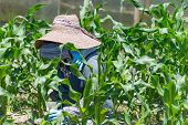 pic of japanese woman  - An elderly Japanese woman working in her field growing corn - JPG
