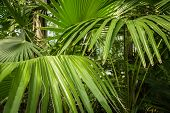image of washingtonia  - in this picture is a plant called washingtonia filifera - JPG