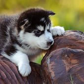 foto of husky sled dog breeds  - cute puppy of alaskan malamute dog in summer - JPG