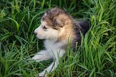 image of husky sled dog breeds  - cute puppy of alaskan malamute dog in the grass - JPG