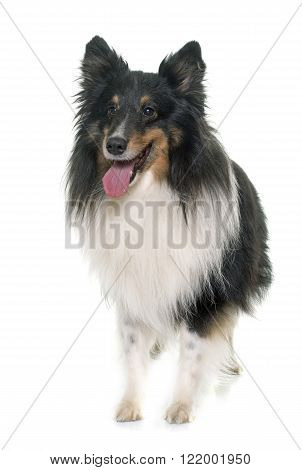 adult shetland sheepdog in front of white background