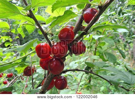 Fruits of the Nanking cherry (Prunus tomentosa) also known as Korean cherry Manchu cherry downy cherry Shanghai cherry Ando cherry mountain cherry Chinese bush cherry Chinese dwarf cherry