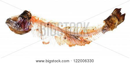 picked skeleton of trout fish isolated on white background