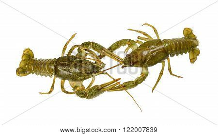 Living two Crayfish close-up on white background green