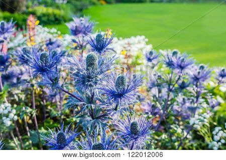 Eryngium oliverianum Sea Holly flower blue plant close up in the garden