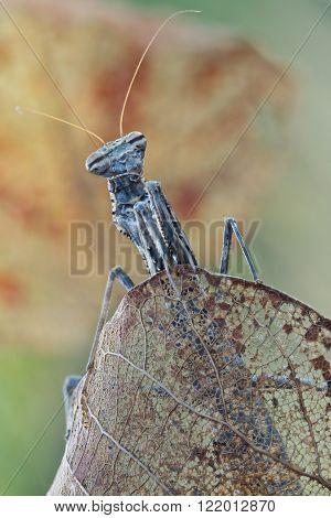 Praying Mantis Mantodea in nature close up