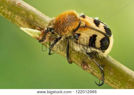 Bee beetles Trichius fasciatus on tree close up
