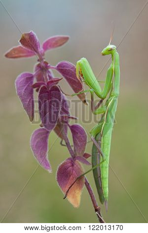 Praying Mantis (Mantis religiosa) on colorful plant in nature