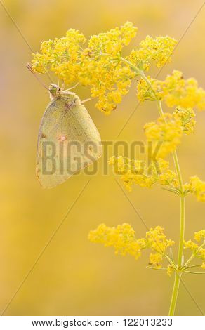 Orange Sulphur (Colias eurytheme) butterfly in yellow soft background