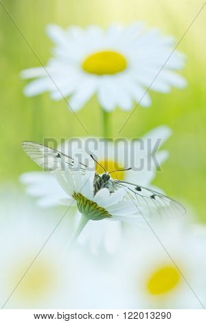 The Clouded Apollo (Parnassius mnemosyne) on a daisy flowers