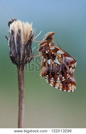 Boloria dia butterfly in nature close up