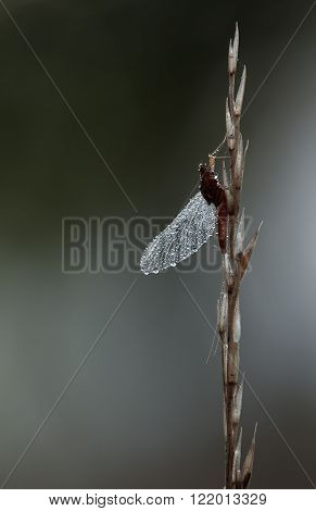 Mayfly Ephemeroptera hanging steadily on top of a plant on dark background