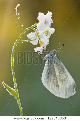 Butterfly Pieris rapae on Cuckoo-flower close up