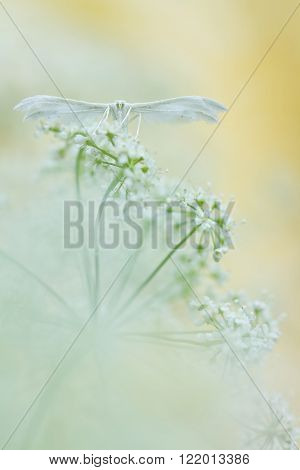White plume moths, Pterophorus pentadactyla in soft focus