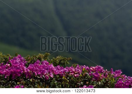 Blooming rhododendron in the Carpathians mount. Close up