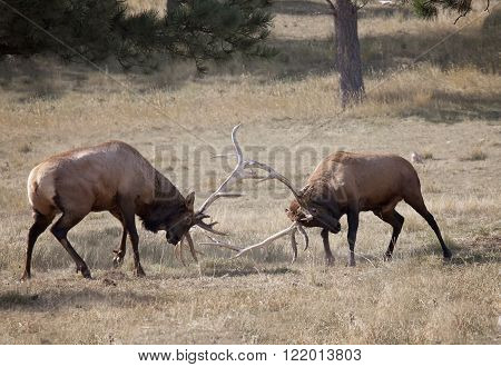 Pair of bull elk in rut, sparring.  Shallow depth of field.