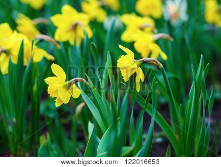 Blooming yellow daffodils . Flowering narcissus. Spring yellow flowers. Shallow depth of field. Selective focus.