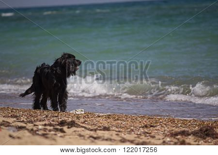 Black setter waiting for the owner on the beach. Pets