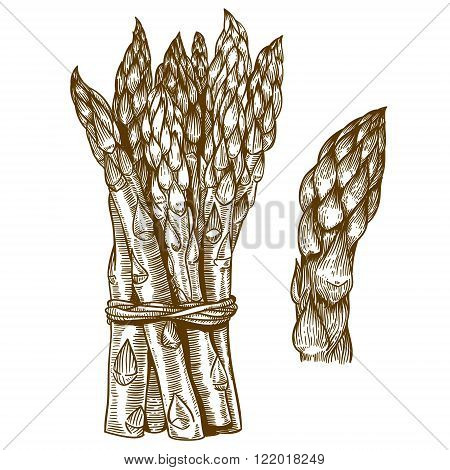 vector set of engraving illustration of asparagus on white background