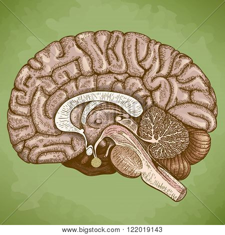 Vector engraving antique illustration of human brain in retro style