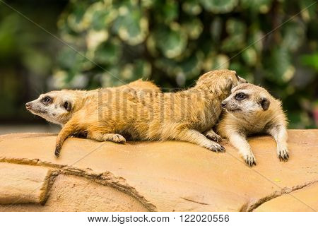 Meerkat resting on ground in zoo Thailand.