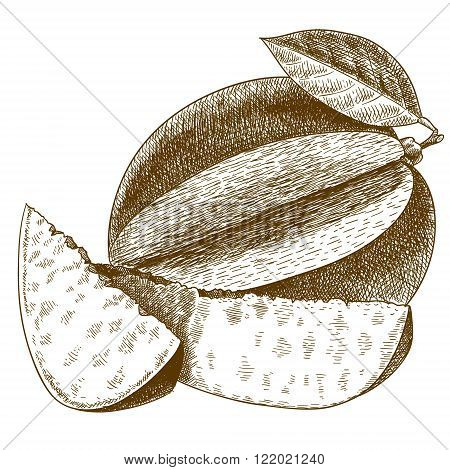 Vector engraving drawing antique illustration of mango with leaf isolated on white background