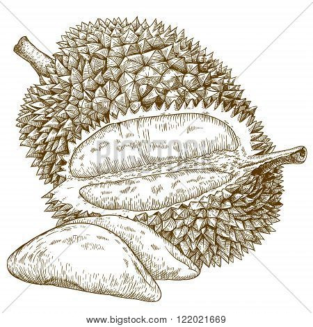 Vector engraving antique illustration of durian fruit isolated on white background