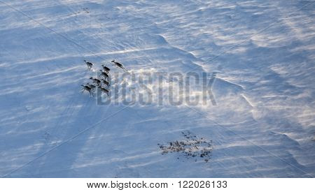 Aerial view of reindeer herd in winter tundra