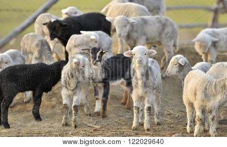 A flock of young sheep on farm