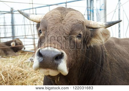 Close-up of a bull in a cattle fair.