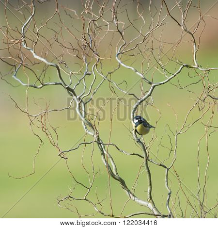 Great tit in spring in weeping willow