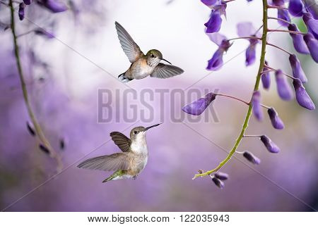 Delicate lavender petals of purple wisteria blooms with two Hummingbirds