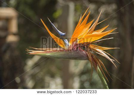 Strelitzia or Bird of Paradise flower in Dalat, Vietnam
