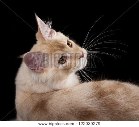 Beautiful Maine Coon cat ifs isolated on a black background.