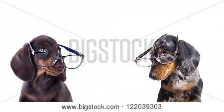 purebred dachshundr in glasses