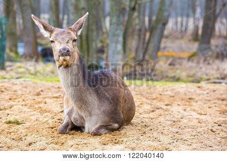 Deer doe resting on ground. Portrait of doe , animal face