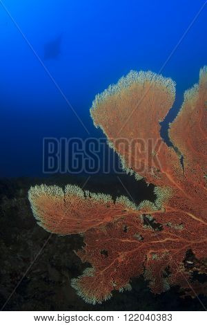 Fan Coral and manta ray in background