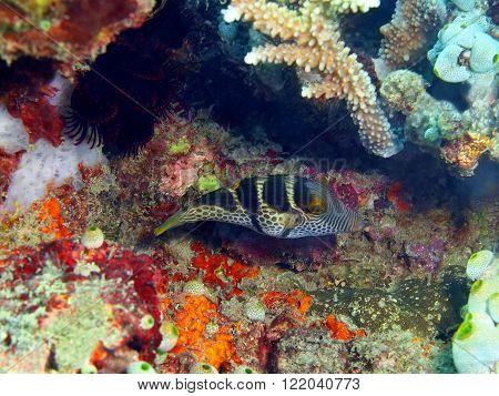 The surprising underwater world of the Bali basin, Island Bali, Pemuteran. Boxfish