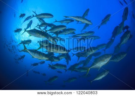 Yellow-spotted Trevally fish school