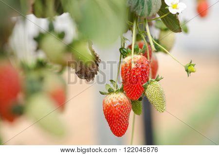 Growing organic sweet hydroponic Strawberries in greenhouse. Israel