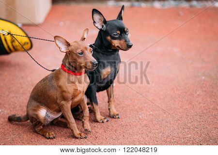 Two Funny Brown And Black Miniature Pinschers Pinchers Sitting Together On Red Floor