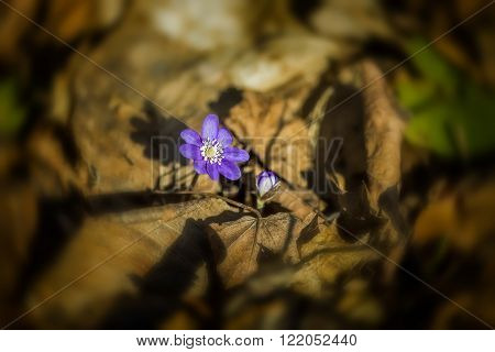 Violet growing in the forest began in the spring