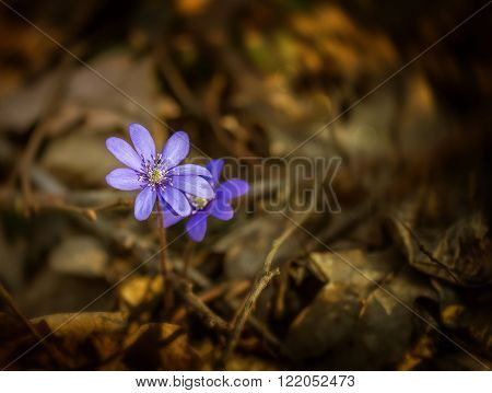 Violet Growing In The Forest