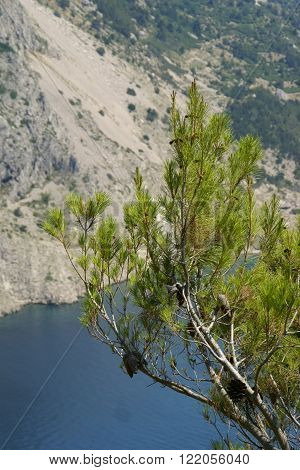 Pine on the shores of the Mediterranien sea