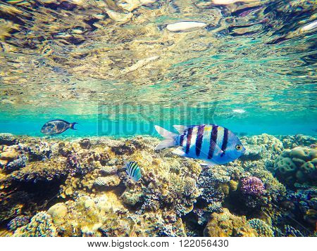 Corals and fish in the Red Sea Egypt. Undersea world. Striped fish in the foreground