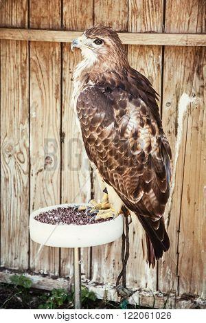 Golden eagle - Aquila chrysaetos - big bird of prey. Animal scene.