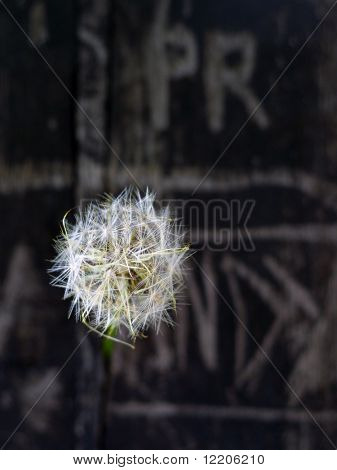 Dandelion clock in front of graffiti on wall. Symbolizing environmental time-bomb.