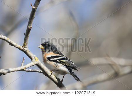 a male brambling sitting in a tree