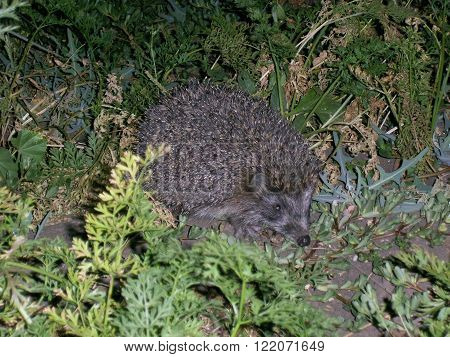 suddenly spotted the hedgehog showed interest in green