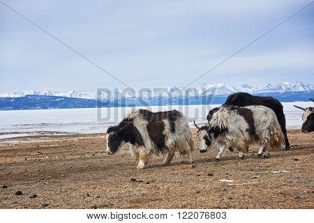Adults Mongolian yaks go out to pasture along shore of Lake Hovsgol . Mongolia